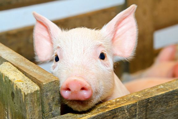 First Pig-To-Human H1N1 Case Found in Ontario