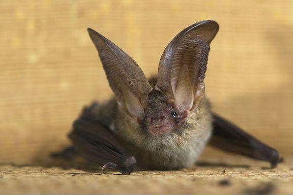 White-Nose Syndrome Hits P.E.I. Bat Population