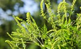 Waging War on Ragweed Allergies