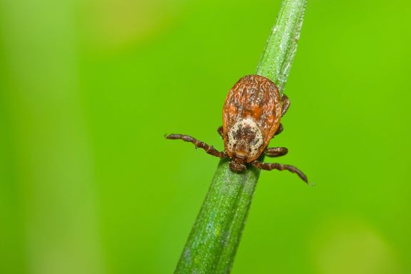 Deadly Rocky Mountain Spotted Fever Can Spread in Ten Minutes, Study Shows
