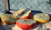 10 usages sains pour vos vieilles pommes abimées