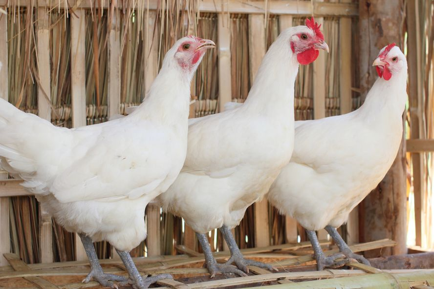 Bird Flu Outbreak Causing Poultry Prices to Skyrocket