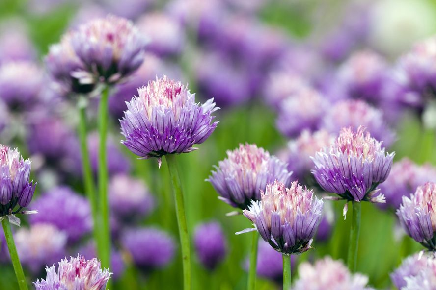 Plants That Repel Mosquitoes Naturally