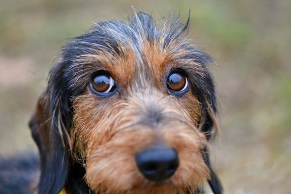 Blepharitis in Dogs: Symptoms and Treatments