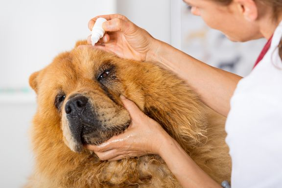 Eye Infection in Dogs: Symptoms and Treatments